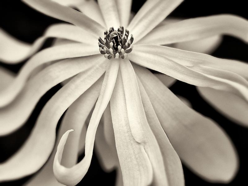Close up of Royal Star Magnolia (magnolia stellata). Oregon