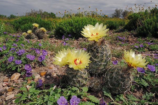 Twisted-rib Cactus (Hamatocactus bicolor) and Purple Ground Cherry (Quincula lobata), blooming,  Laredo, Webb County, South Texas, USA