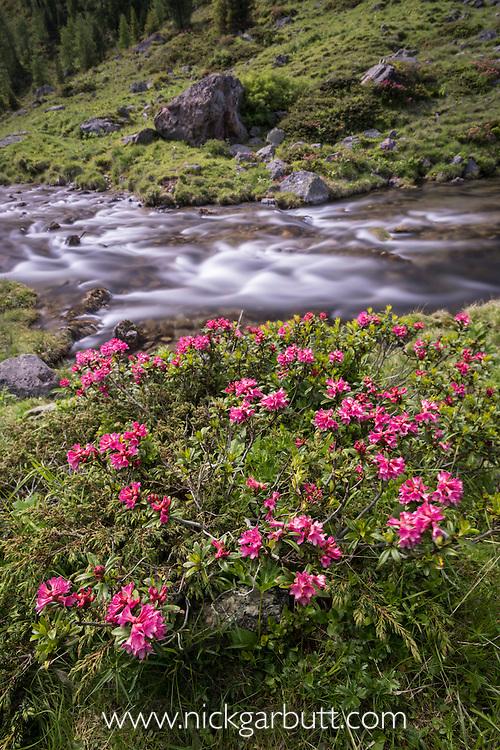 Alpenrose (Rhododendron ferrugineum) in flower growing along side tumbling high-mountain stream. Nordtirol, Tirol, Austrian Alps, Austria, 2300 metres, July.