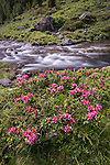 Alpenrose (Rhododendron ferrugineum) in flower growing along side tumbling high-mountain stream. Nordtirol, Tirol, Austrian Alps, Austria, 2300 metres, July.