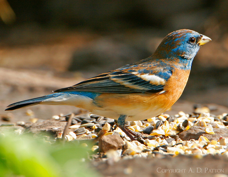 Adult male lazuli bunting coming into breeding plumage in April, Concan,TX