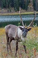 Woodland Caribou or forest-dwelling caribou (Rangifer tarandus caribou) bull feeding near mountain lake.  British Columbia.  Fall.