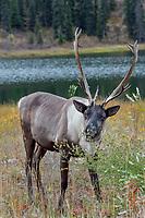 Woodland Caribou or forest-dwelling caribou (Rangifer tarandus caribou) bull feeding near mountain lake.  British Columbia.  Fall.