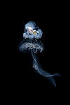 Paper nautilus male, Argonauta hians, riding on a Pelagia Notiluca larval jellyfish, symbiotic relationship, Marine behavior,Anilao, Black Water, Diehl migration, Paper nautilus larval, Philippines 2019, larval marine creatures, vertical migration, Baby Octopus riding on jellyfish, Philippines 2019, larval marine creatures, vertical migration