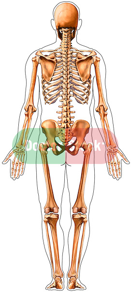 This medical illustration depicts a male skeleton from the posterior view. There is an inked outline of the male figure around the skeleton.