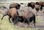 There are hundreds of bison in Yellowstone.