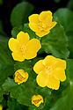 Marsh marigold (Caltha palustris), late March.