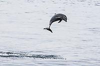 common bottlenose dolphin, Tursiops truncatus, adult, leaping, Santa Rosalia, Baja California Sur, Mexico, Gulf of California, Sea of Cortez, Pacific Ocean
