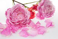 Rose, Rosen-Blüten, Rosen-Blütenblätter, Blütenblätter, Blütenblatt, Garten-Rose, Gartenrose, Kulturrose, Kultur-Rose, Rosa spec., Rose