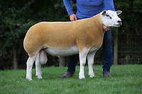 1.9.2020 Texel Sheep Society English National Sale<br /> Lot 1153<br /> ©Tim Scrivener Photographer 07850 303986<br />      ....Covering Agriculture In The UK.