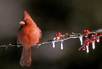Male Northern Cardinal, Richmondena cardinalis, perched on icy branches of frozen holly  berry and snow in winter with feathers puffed up for warmth