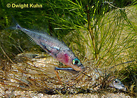 1S57-540z  Threespine Stickleback, gravid female inside male's nest, male prods near her tail fin to stimulate egg laying, Gasterosteus aculeatus