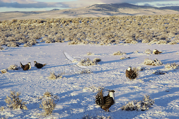 "BG303  Male Sage Grouse strutting on lek after fresh snow.  Eastern Oregon's ""high desert.""  March."