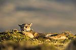 Mountain Lion (Puma concolor) female scratching plant, Torres del Paine National Park, Patagonia, Chile