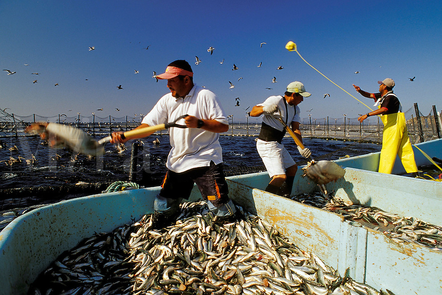 Northern Bluefin tuna aquaculture, Thunnus thynnus, Mexico, Pacific Ocean