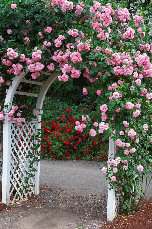 Rose arbor with Lavender Lassie. Heirloom Gardens, Oregon