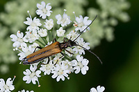 Gemeiner Scheinbockkäfer, Gemeiner Schenkelkäfer, Scheinbockkäfer, Schenkelkäfer, Blütenbesuch, Oedemera femorata, Oedemeridae, Scheinböcke, Pollen-feeding Beetle, Thick-legged Flower Beetle, false blister beetles, pollen-feeding beetles