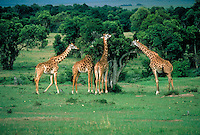 Four giraffes feeding on Acacia trees, Kenya, Africa.
