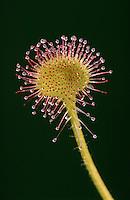 A sundew flower.