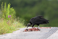 The Black Vulture, Coragyps atratus, also known as the American Black Vulture, is a bird in the New World vulture family whose range extends from the southeastern United States to Central Chile and Uruguay in South America.
