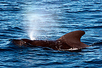 Short-finned pilot whale, Globicephala macrorhynchus, Gulf of California, Mexico, East Pacific Ocean
