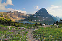 Mountain Goats (Oreamnos americanus) near Hidden Lake and Bearhat Mountain.  Glacier National Park, Montana.  Summer.