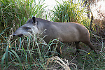 South American or Brazilian Tapir (Tapirus terrestris) in dense bankside vegetation off the Paraguay River. Taiama Ecological Reserve, western Pantanal, Brazil. September.