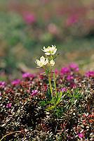 Wildflower meadow, Narcissus-flowered anemone, windflower and Lapland rosebay, Denali National Park, Alaska