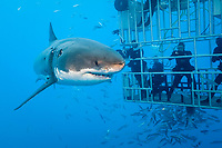 great white shark, Carcharodon carcharias, divers in shark cage, and mackerel scad, Decapterus macarellus, schooling, Guadalupe Island, Mexico, Pacific Ocean