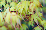 Golden lace leaf maple in spring with blossoms.