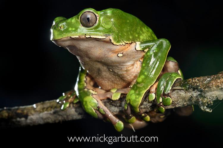 Giant waxy monkey frog or leaf frog (Phyllomedusa bicolor) climbing in rainforest canopy. Lowland Amazon rainforest, Manu Biosphere Reserve, Peru.