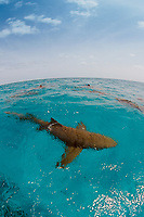 Lemon Sharks on the surface, Negaprion brevirostris, Bahamas, Caribbean, Atlantic Ocean