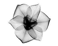 Xray Japanese iris blossom