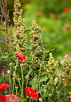 Chenopodium quinoa going to seed in edible garden; Lynmar Estate Winery