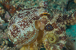 Blue Ring octopus, Canyons, 2018, Marco Vincent, Mototi Octopus, Octopus ocellatus,  Poisonous Ocellate octopus, Puerta Galera, Philippines,