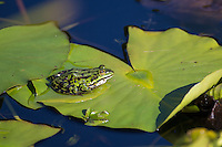 Teichfrosch, Teich-Frosch, Grünfrosch, Wasserfrosch, Grün-Frosch, Wasser-Frosch, Frosch, Frösche, Rana kl. esculenta, Pelophylax kl. esculentus, Edible Frog, Grenouille verte