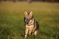 Coyote (Canis latrans).  Uppoer Great Lakes region. Fall.