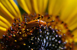 A blister beetle on a sunflower, in Gardnerville, Nev., on Wednesday, August 6, 2020. <br />Photo by Cathleen Allison/Cathleen Allison Photography