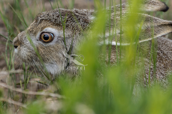 White-tailed jackrabbit (Lepus townsendii).  Montana.  June.  This hare is holding still hoping not to be noticed.