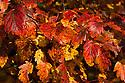 Autumn foliage of Hawthorn-leaf crabapple (Malus florentina), early November.