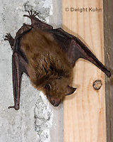 MA20-679z   Big Brown Bat hanging from attic ceiling, Eptesicus fuscus