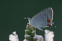 Gray Hairstreak (Strymon melinus), adult perched on flower, Fennessey Ranch, Refugio, Coastal Bend, Texas Coast, USA