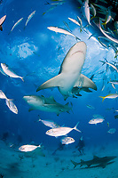 lemon shark, Negaprion brevirostris, with remora, sharksucker, jack, Bahamas, Atlantic Ocean