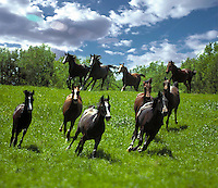 Herd of Arabian mares gallop down a rise.