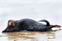 Sea otters, Enhydra lutris nereis, @ Moss Landing in the Monterey Bay National Marine Sanctuary, sometimes haul out on to the beach/water's edge where their behavior may be seen better. This male sea otter came on to the shore after following a young female sea otter there.