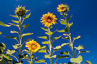 Sunflowers in the fields, under a bright blue sky or in the evening light - always beautiful and deserving of close study and amazement at the intricacies of it's design.