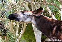 0605-1102  Okapi, Eating Leaves off Branch, Okapia johnstoni  © David Kuhn/Dwight Kuhn Photography