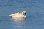 Trumpeter Swan on Phantom Lake in Crex Meadows in northwestern Wisconsin.