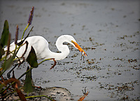 Great Egret standing in water with a frog in it's beak