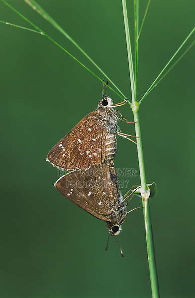 Celia's Roadside-Skipper, Amblyscirtes celia, pair mating, Willacy County, Rio Grande Valley, Texas, USA